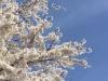 Цветение сакуры Мураками 2016